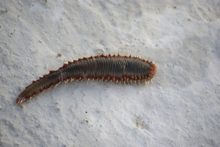 Hermodice carunculata - fire worm