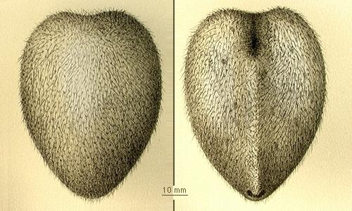 Spatagocystis challengeri