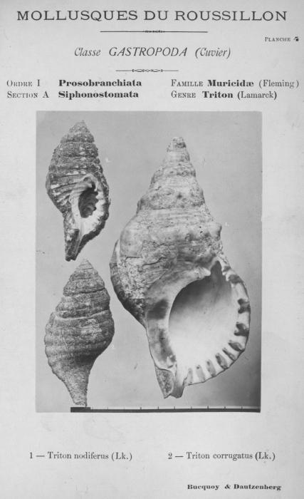 Bucquoy et al. (1882-1886, pl. 04)