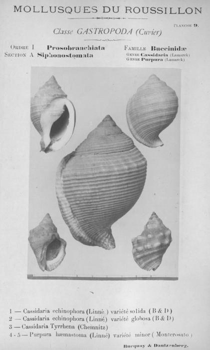 Bucquoy et al. (1882-1886, pl. 09)