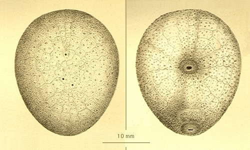 Urechinus naresianus