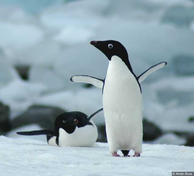 Pygoscelis adelia - Adelie penguins on Adelaide Island