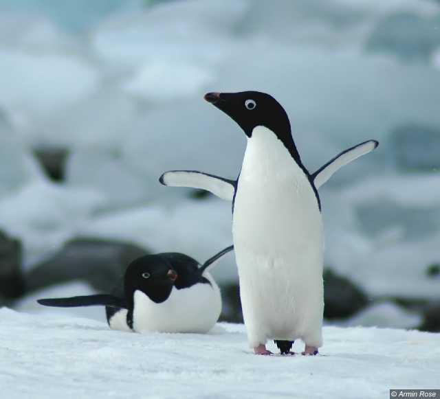 Pygoscelis adelia - Adelie penguins on Adelaide Island