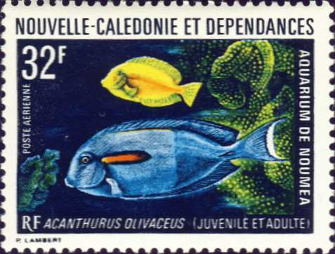Acanthurus olivaceus