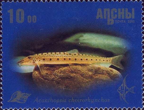 Acanthopsis choirorhynchos