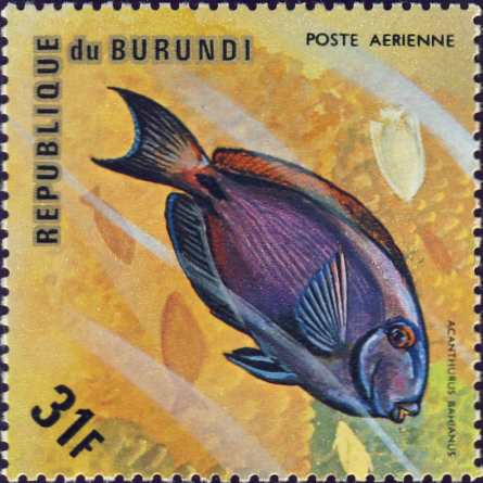 Acanthurus bahianus