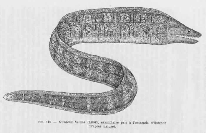 Poll (1947, fig. 113)