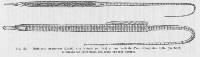 Poll (1947, fig. 120)