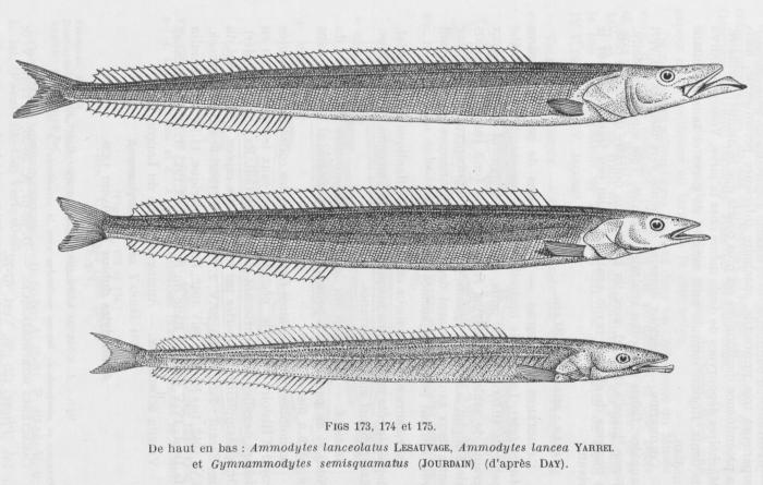 Poll (1947, fig. 173, 174 & 175)