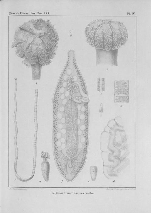 Van Beneden (1850, pl. 04)