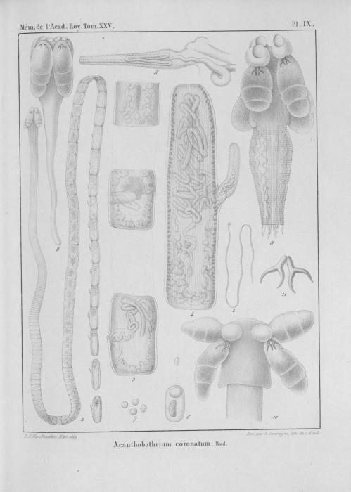 Van Beneden (1850, pl. 09)