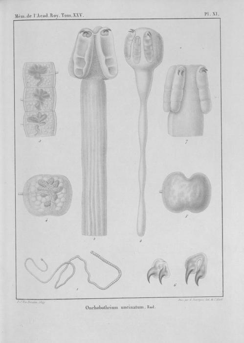 Van Beneden (1850, pl. 11)