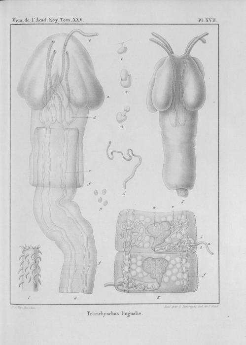 Van Beneden (1850, pl. 17)