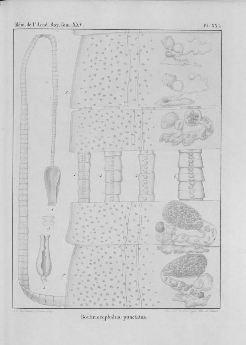 Van Beneden (1850, pl. 21)