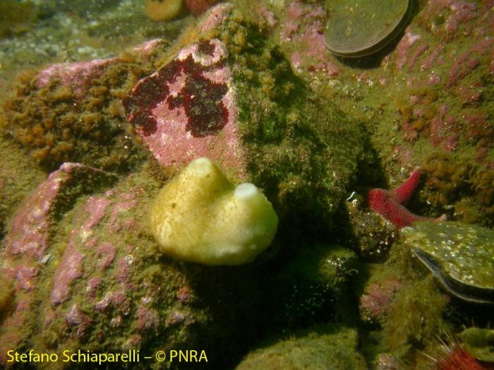 Porifera ind 1