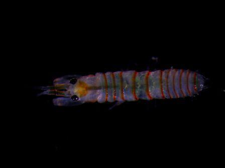 Leptochelia sp