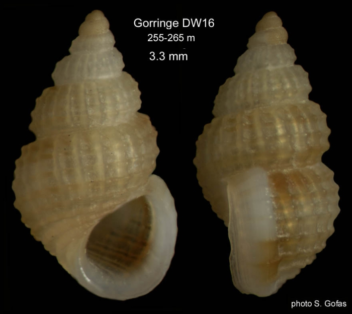 Alvania cimicoides (Forbes, 1844)Shell from Gorringe Seamount, 255-265 m (size 3.3 mm).