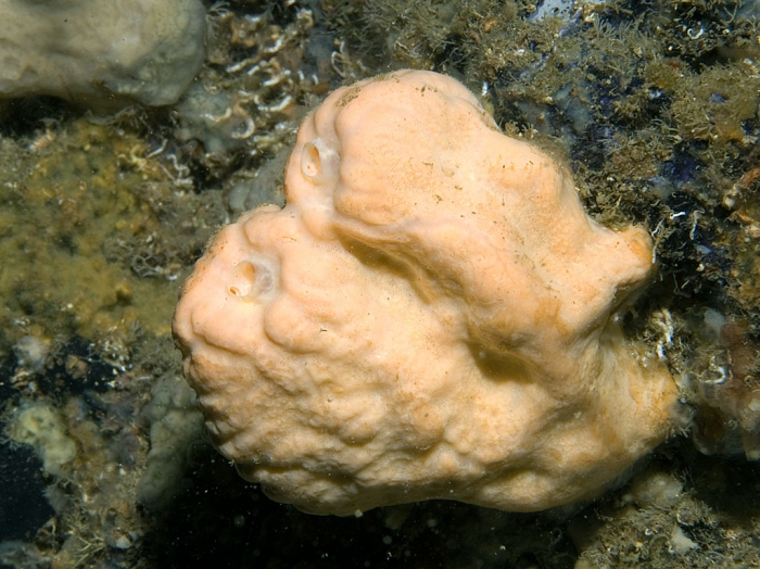 Agelas oroides