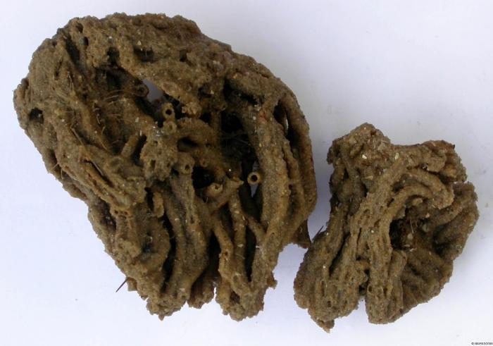 Sabellaria alveolata (Linnaeus, 1767)