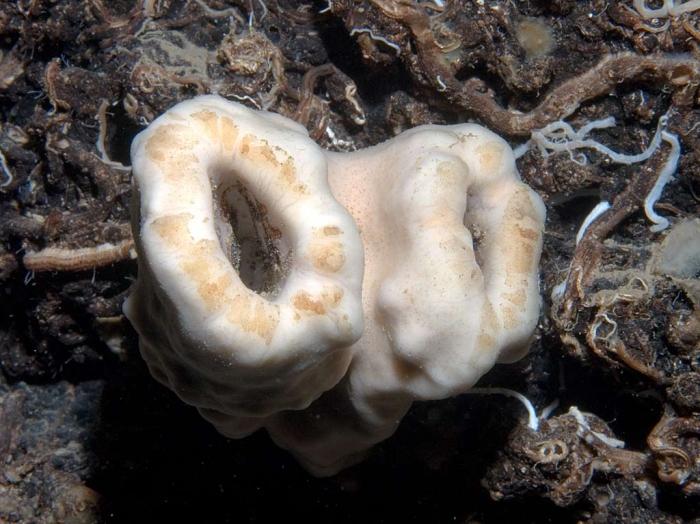 Corallistes masoni