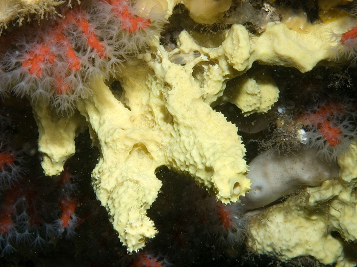 Aplysina cavernicola