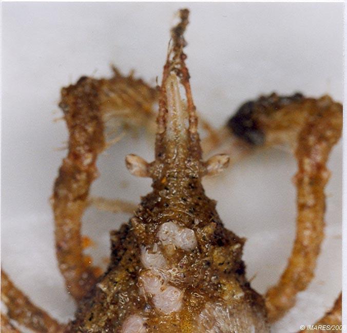 Macropodia tenuirostris (Leach, 1814)