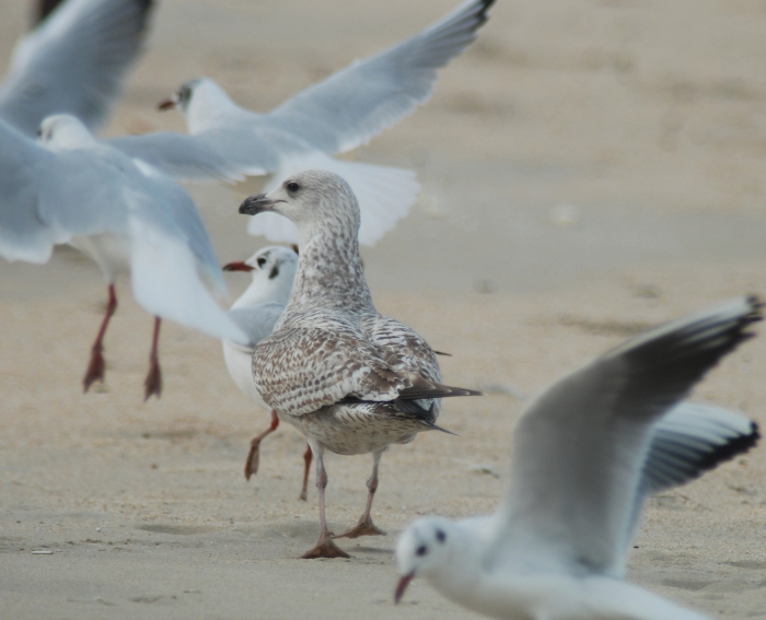 Herring gull amongst black-headed gulls