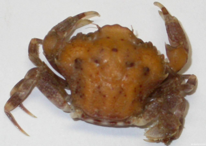 Liocarcinus pusillus (Leach, 1815) 