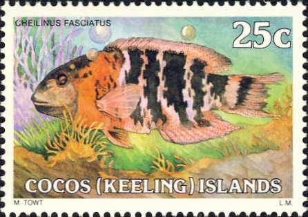 Cheilinus fasciatus