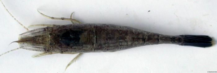 Crangon crangon (Linnaeus, 1758)
