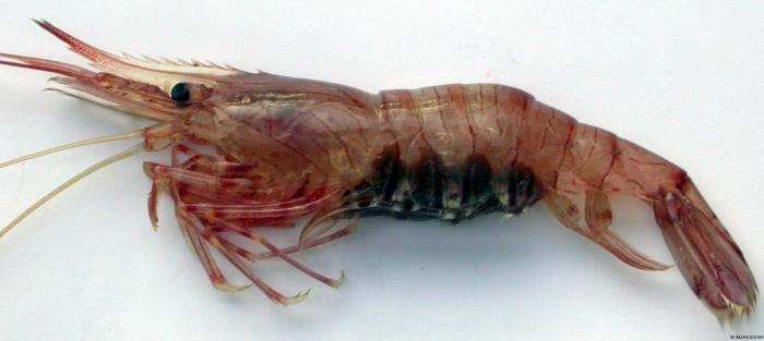 Palaemon serratus (Pennant, 1777)