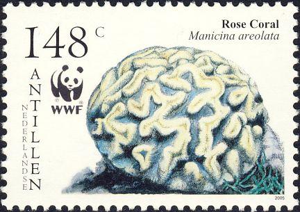 Manicina areolata