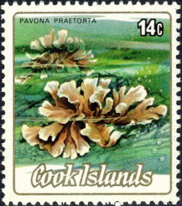 Pavona praetorta