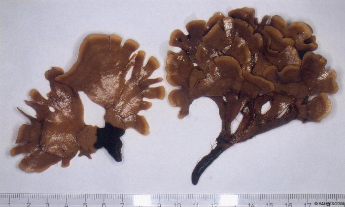 Flustra foliacea (Linnaeus, 1758)