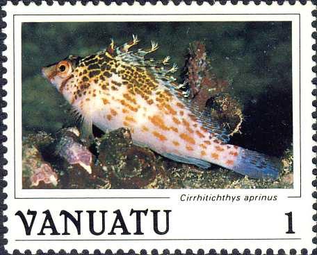 Cirrhitichthys aprinus