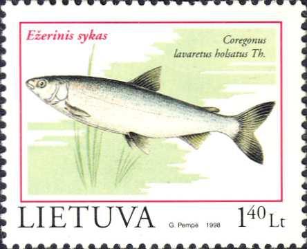 Coregonus lavaretus