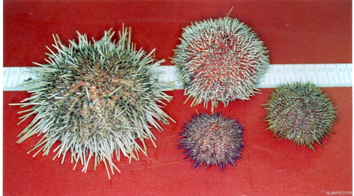 North Sea echinoids