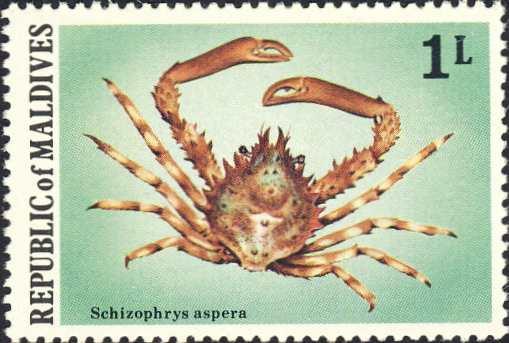 Schizophrys aspera