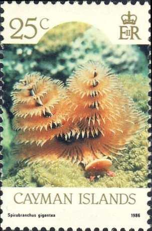 Spirobranchus giganteus