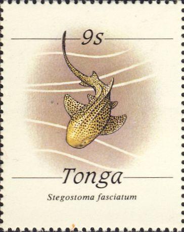 Stegostoma fasciatum
