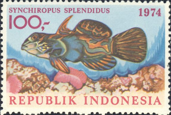 Synchiropus splendidus