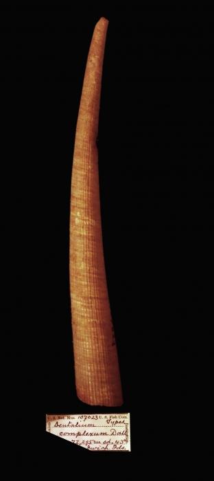 Fissidentalium complexum