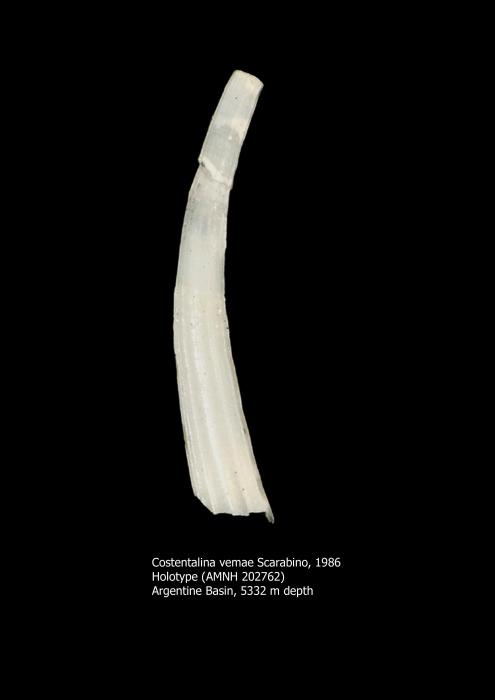 Costentalina vemae Scarabino, 1986
