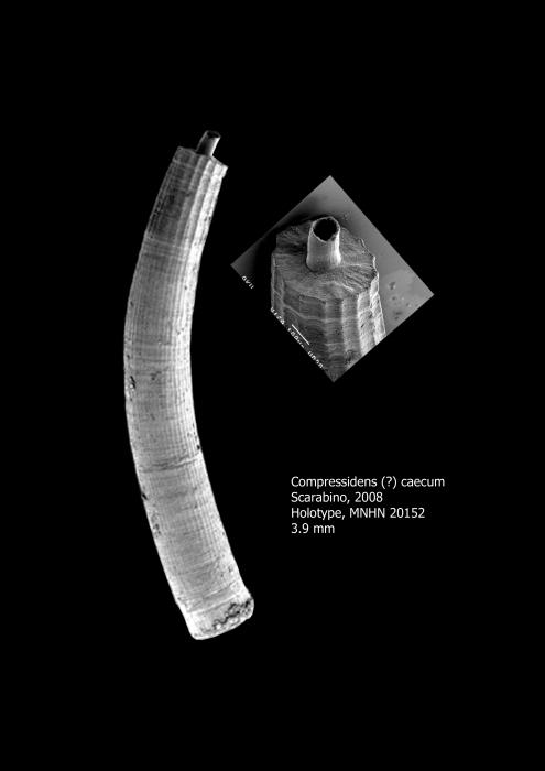 Compressidens caecum Scarabino, 2008