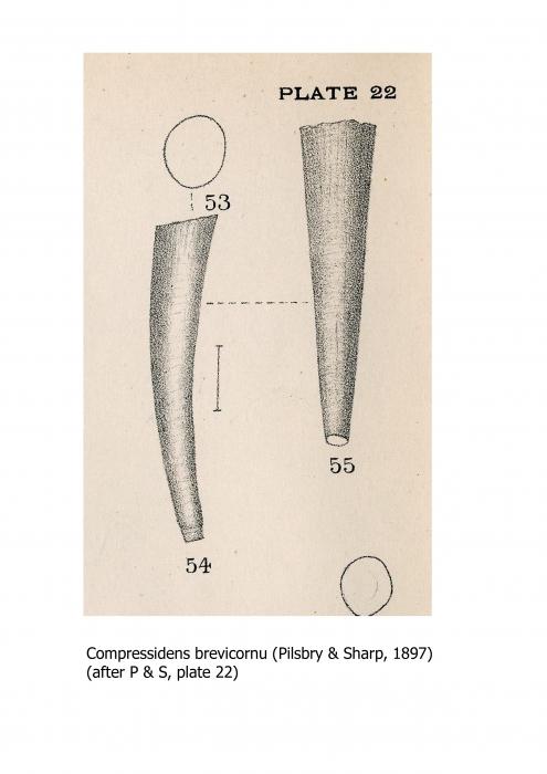 Compressidens brevicornu (Pilsbry & Sharp, 1897)