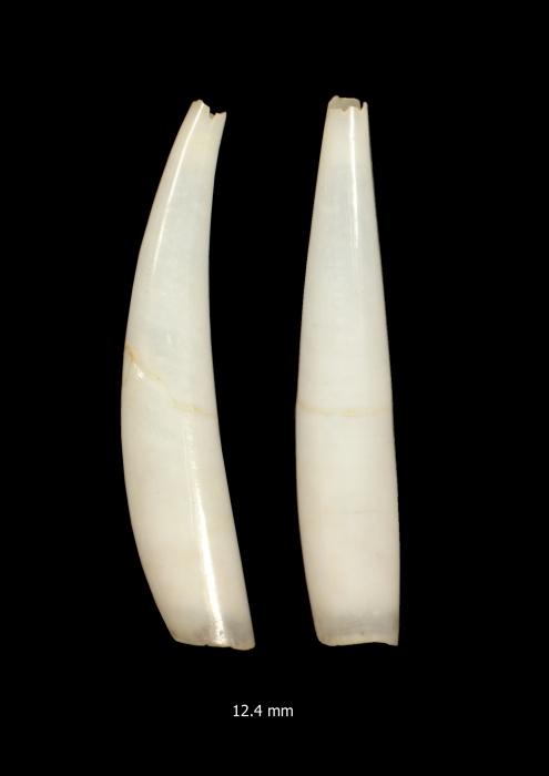 Polyschides sakurai (Kuroda & Habe, 1961)