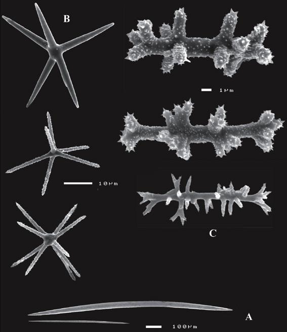 Asteropus arenosus