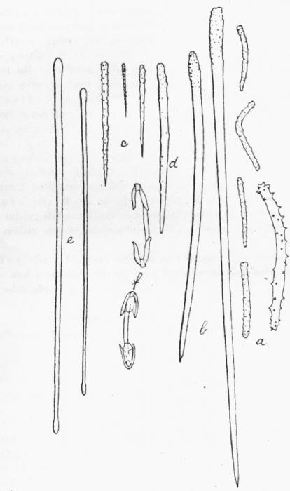 Plocamionida ambigua f. tylotata