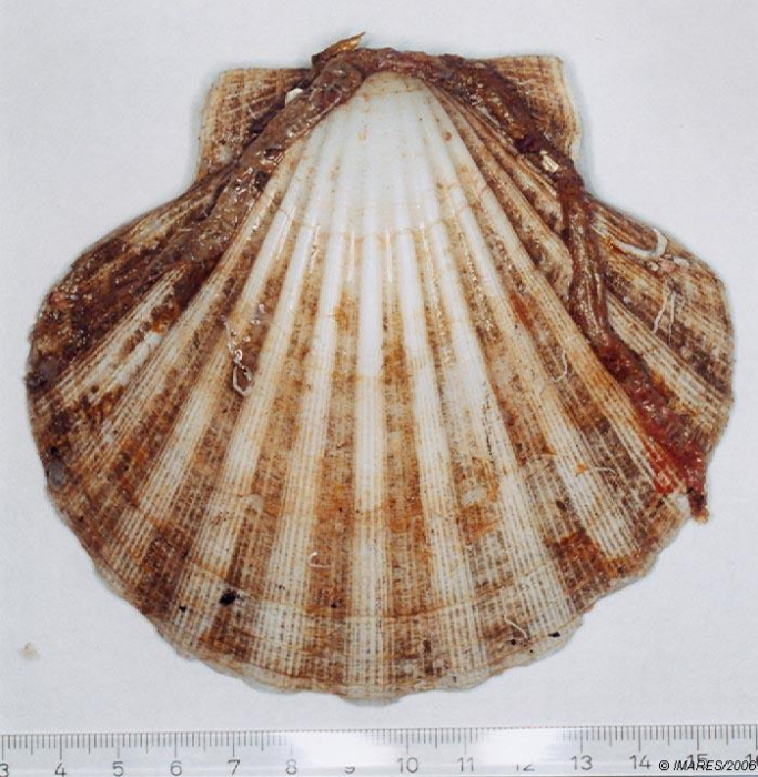 Pecten maximus (Linnaeus, 1758) 