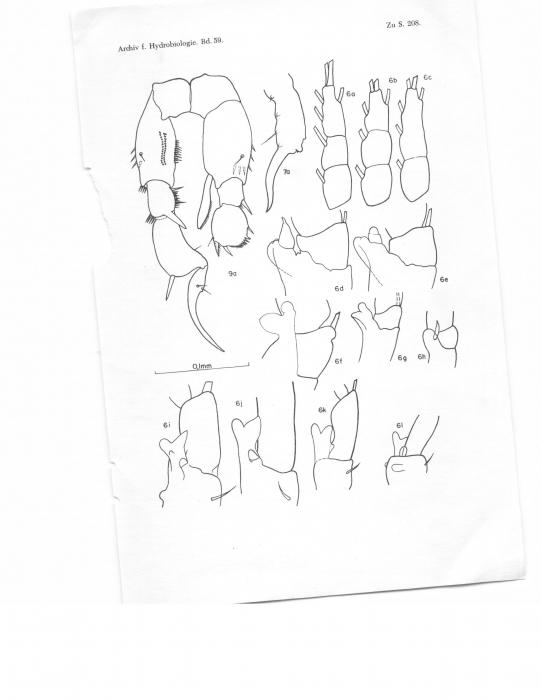 Pseudodiaptomus acutus leptopus
